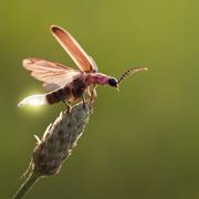 Fireflies' Protective 'Musical Armor' Against Bats