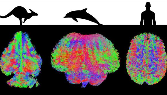 MRI review of different mammalian brains